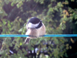 chicadee-peg1a